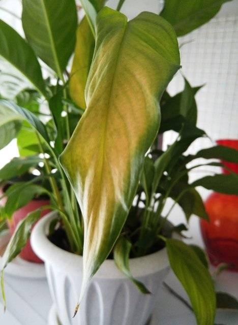 Выращиваем в домашних условиях прекрасный адиантум