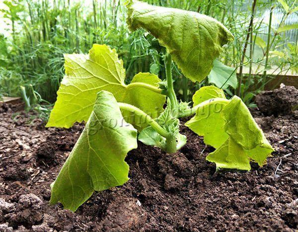 Почему желтеют листья у картофеля в июне