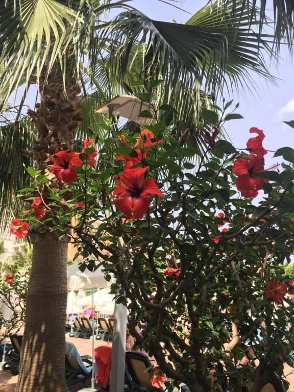 Выращивание и уход за восточной суданской розой