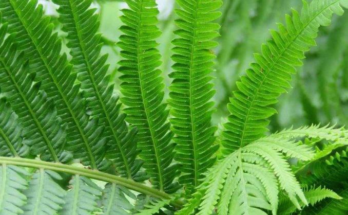 Сложно ли вырастить папоротник асплениум волосовидный?