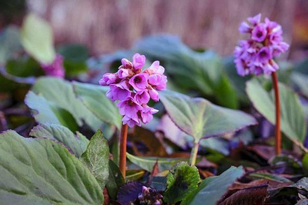 Уникальный целитель бадан: уход, посадка и фото цветка