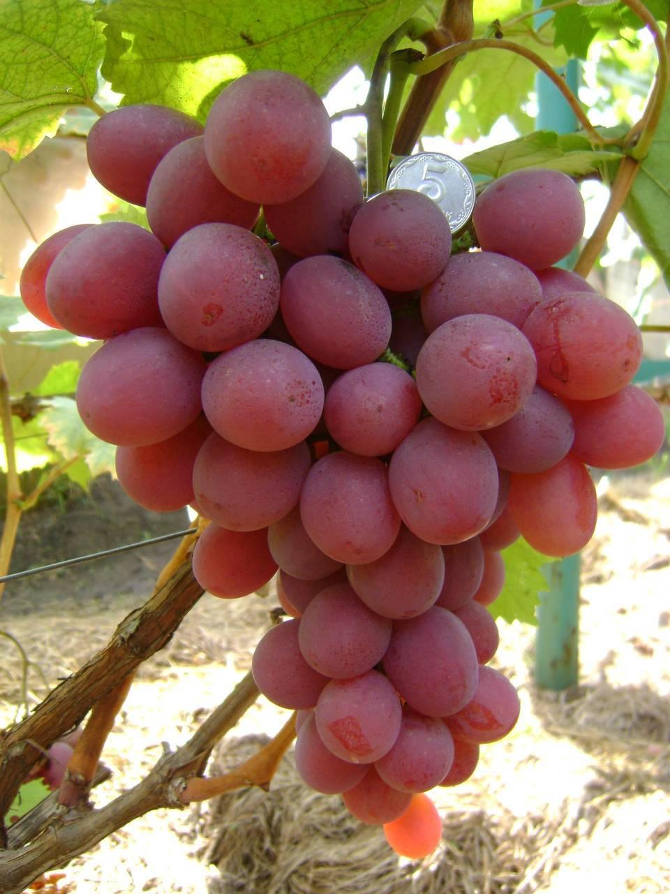 Анюта— сорт винограда с медово-мускатным вкусом