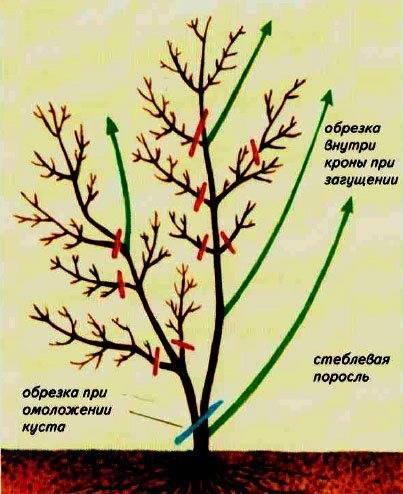 Что делать с жимолостью весной. рекомендации и советы по уходу за жимолостью осенью