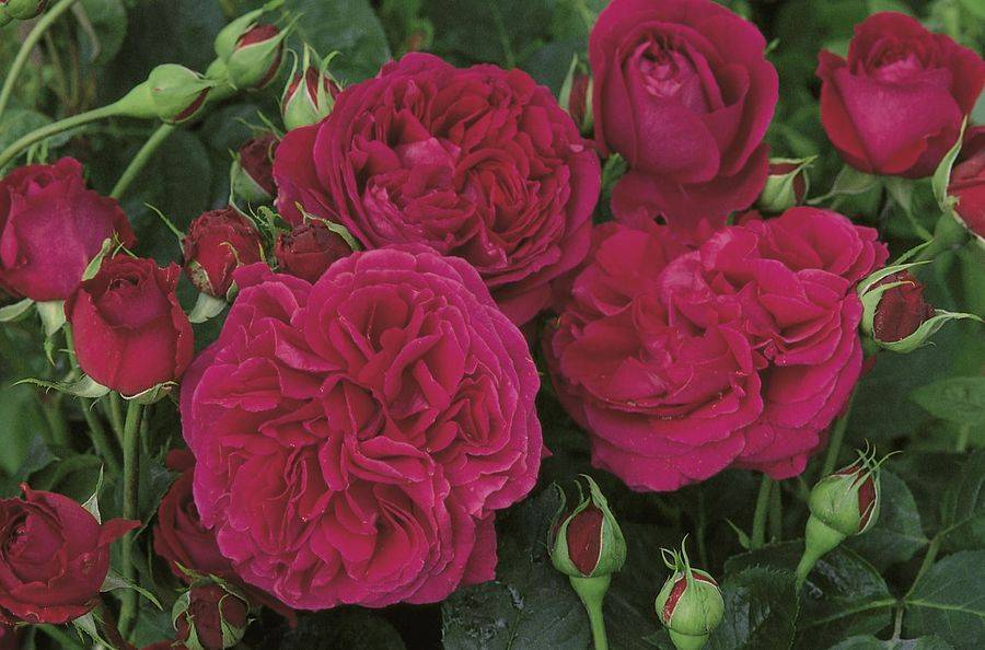 Ее величество роза двойное удовольствие для украшения дачного участка
