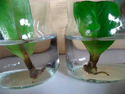 Способы размножения замиокулькаса в домашних условиях