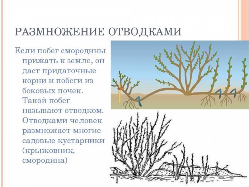 Как вырастить иву плакучую из веточки. размножение ивы черенками, выращивание и уход за саженцем