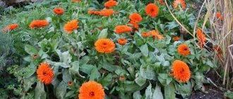 Выращивание рассады цветов в домашних условиях и высадка в грунт