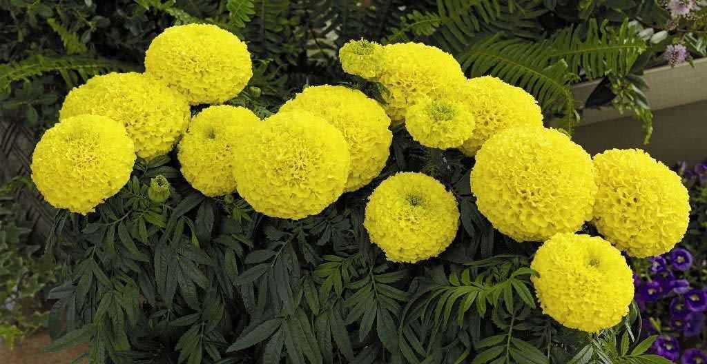 Советы цветоводам по выращиванию бархатцев из семян. когда и как сажать?