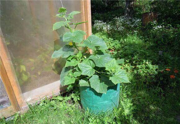 Как вырастить кабачки: способы посадки, выращивания и дальнейший уход, в том числе на балконе, на даче, в бочке и не только