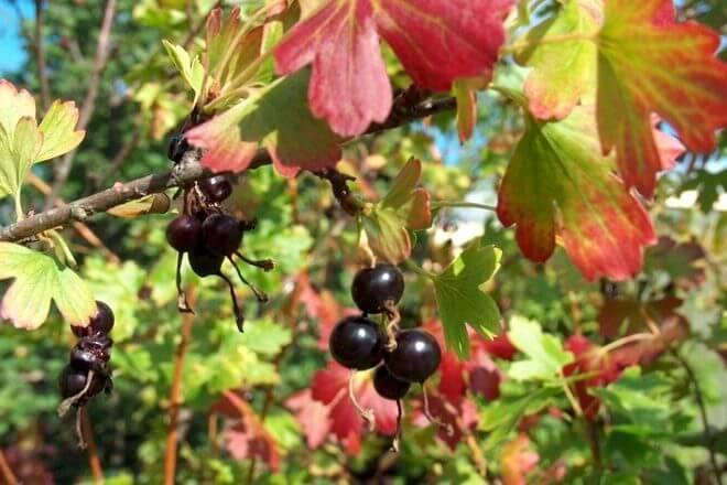 Осенний уход за чёрной смородиной по правилам