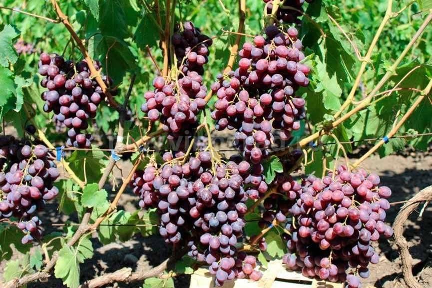 Какие сорта винограда лучше всего садить в подмосковье