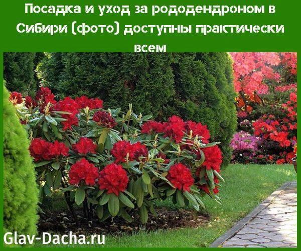 Рододендрон – посадка и уход в средней полосе россии, как выбрать сорт