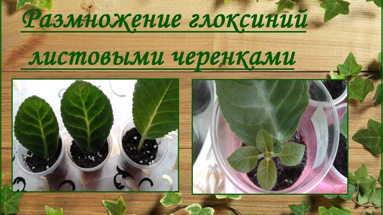 Размножение глоксинии