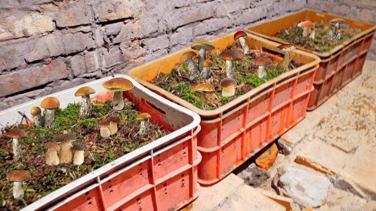 Деликатес с грядки: дедушка научил выращивать белые грибы на даче