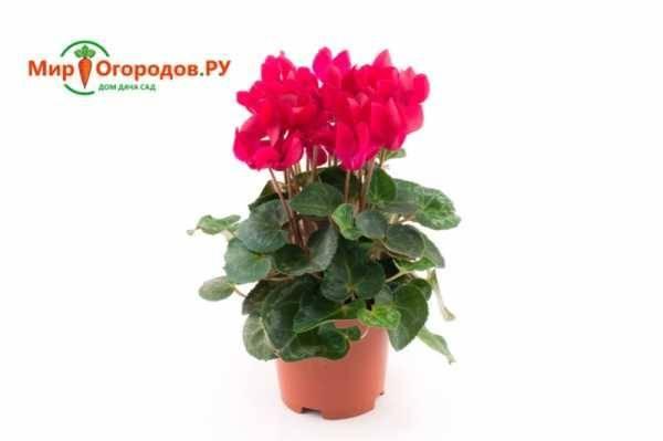 Цикломения — декоративный цветок: уход и размножение в домашних условиях