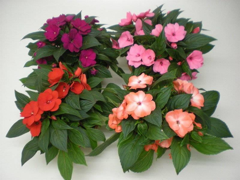Петуния: удобрения для пышного цветения