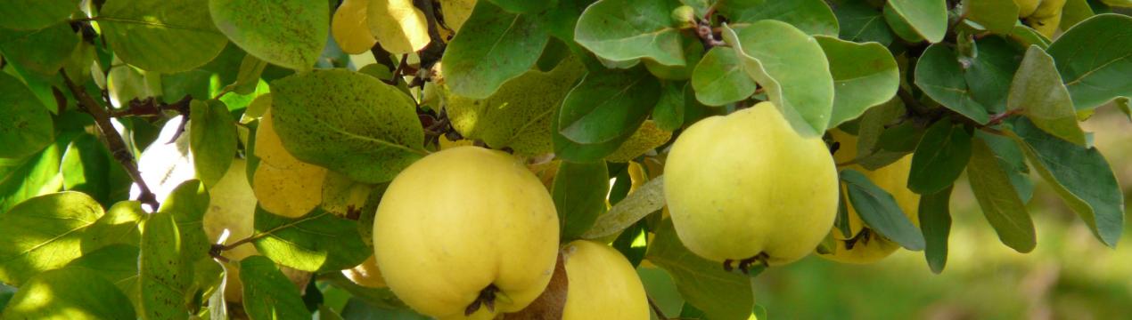 Как посадить и ухаживать за айвой в открытом грунте, способы размножения и борьба с вредителями и болезнями