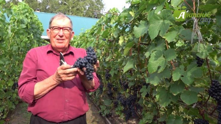 Виноград на даче: как подготовить место, посадить саженцы и ухаживать за ними