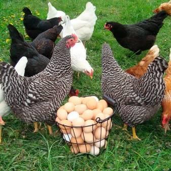 Витамины для цыплят бройлеров аминовитал