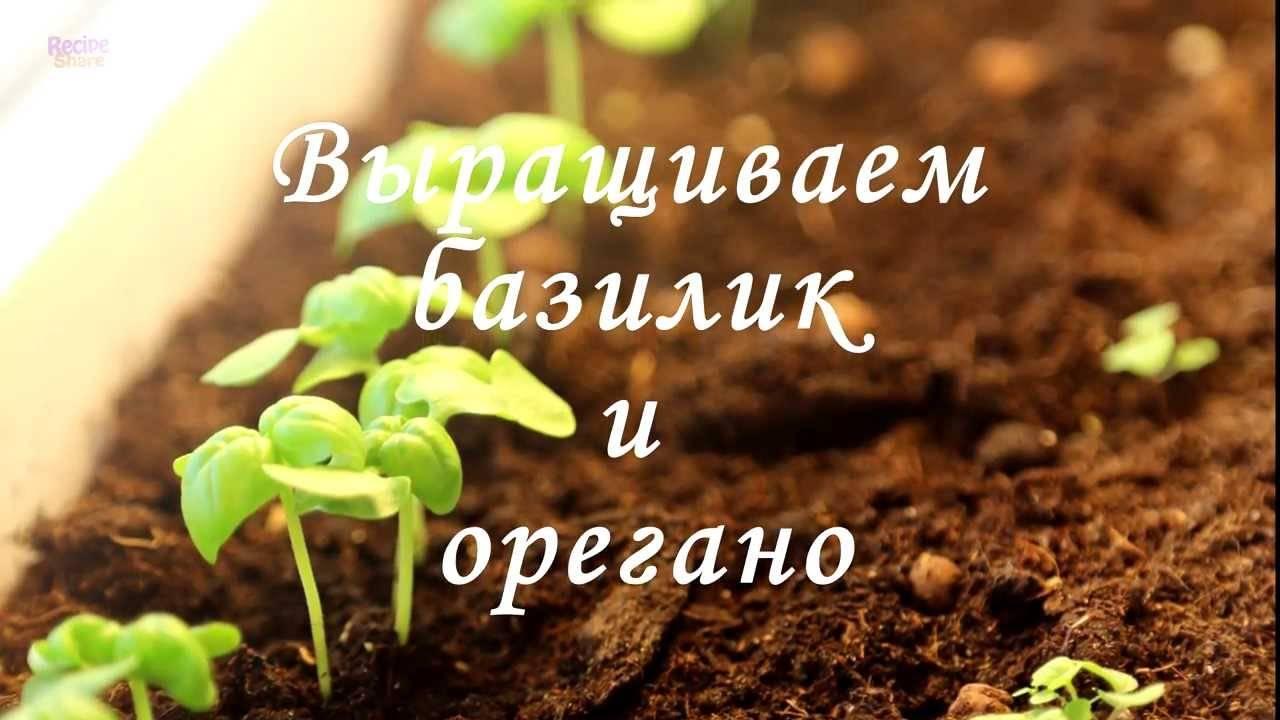 Учимся выращивать базилик из семян в комнатных условиях