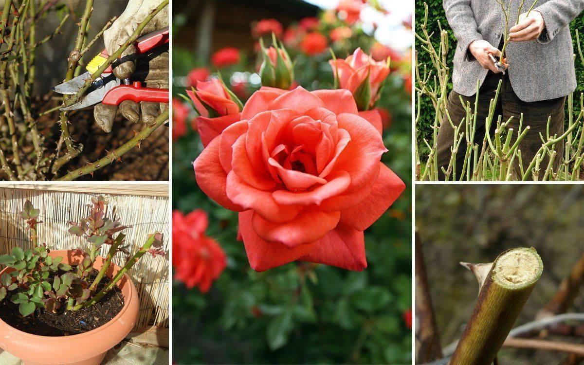 Весенний уход за розами на даче