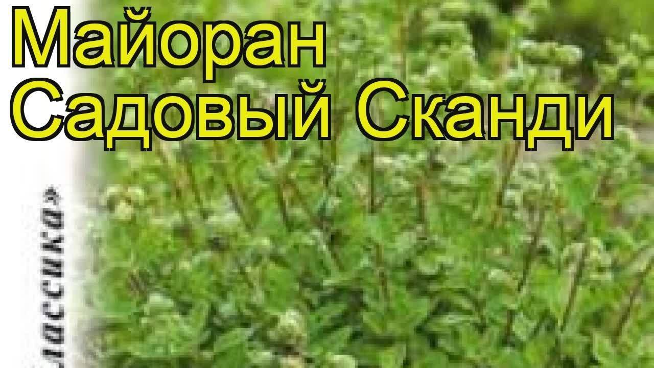 Выращивание майорана семенами в открытом грунте, видео
