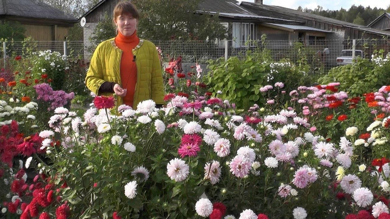 Астры — выращивание из семян в открытом грунте, время посева, видео