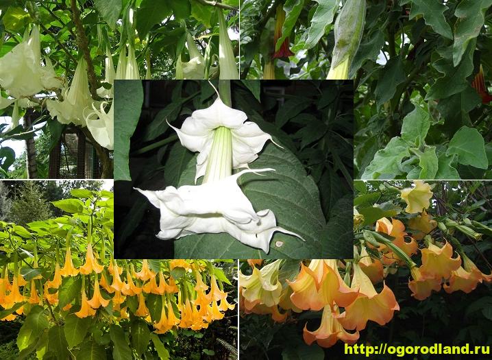 Как вырастить бругмансию садовую, уход зимой и размножение