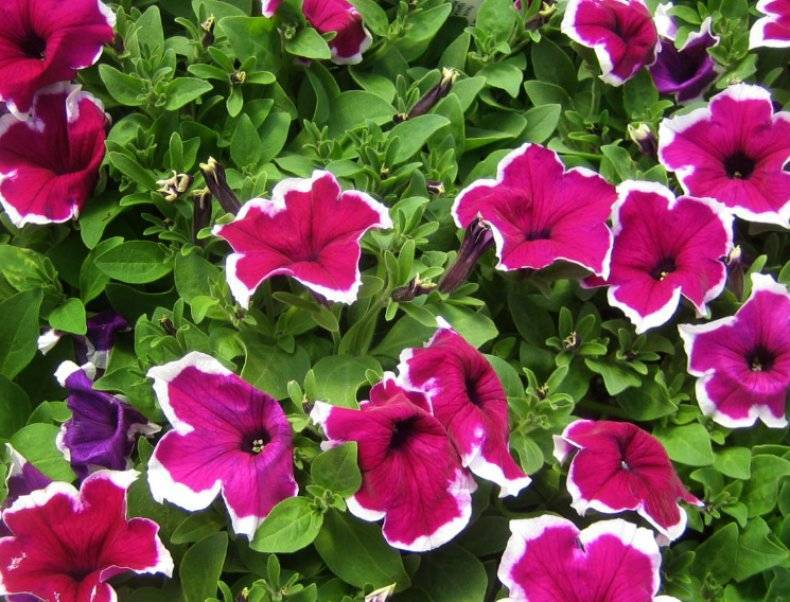 Секреты выращивания петунии от «а» до «я»
