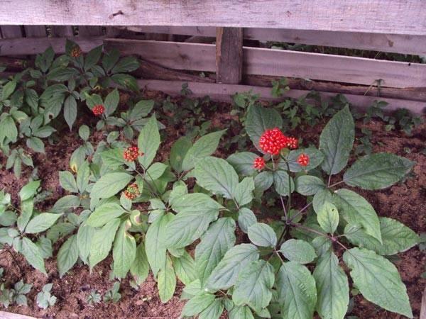 Выращивание женьшеня в саду - место и сроки посадки, видео