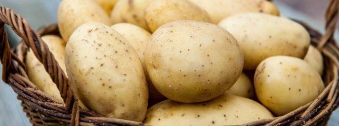Картофель: два урожая за один сезон в сибири