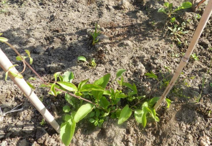 Как сажать клематисы в открытом грунте новичкам