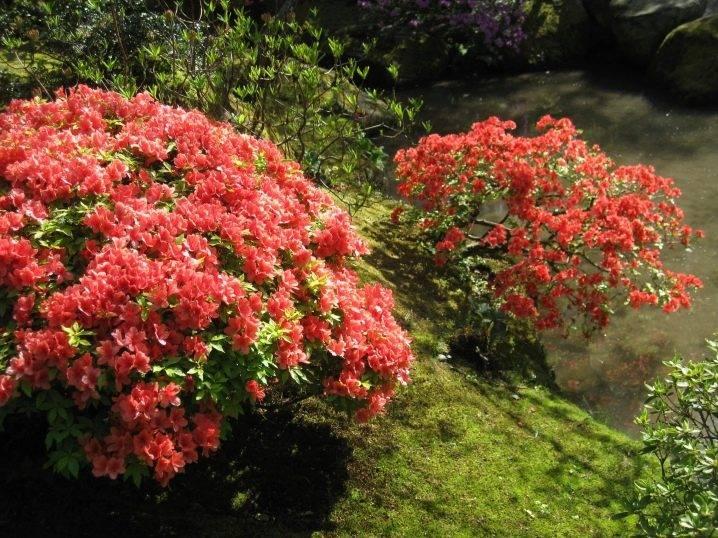 Рододендрон в сибири: описание, посадка и уход