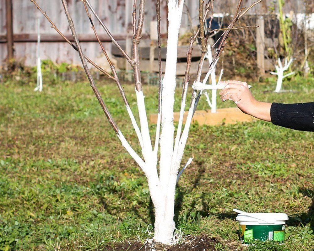 Побелка деревьев: когда, как и надо ли вообще?