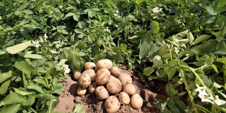 Способы посадки картофеля: как правильно и на какую глубину сажать