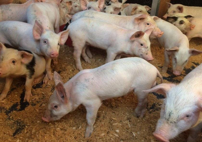 Самый эффективный откорм свиней