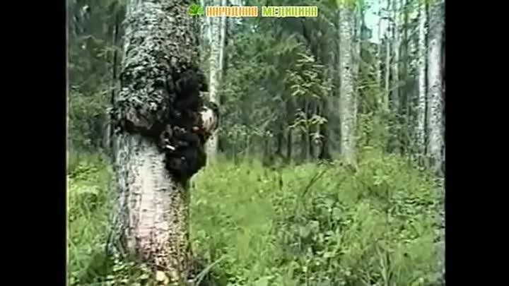 Все о полезных свойствах гриба чага и его использовании