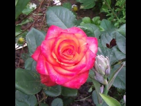 Роза дабл делайт описание и фото, посадка, уход и выращивание, отзывы цветоводов о сорте