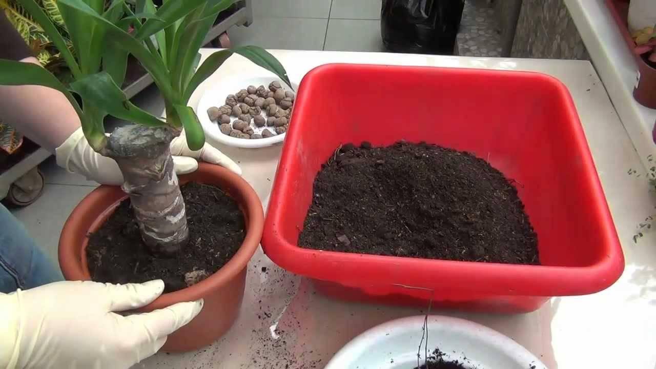 Юкка: выращивание и уход дома и в саду