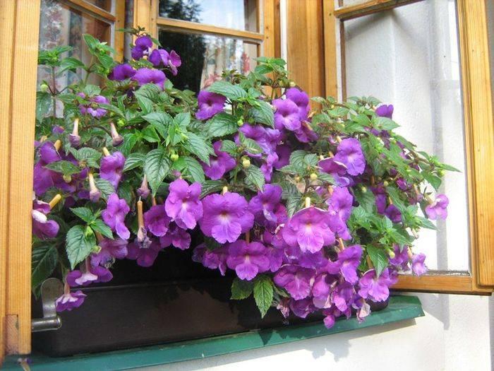 Ахименес: секреты обильного цветения