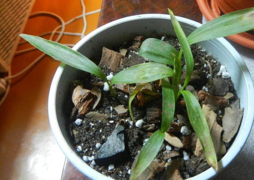 Дендробиум берри ода — самая ароматная орхидея