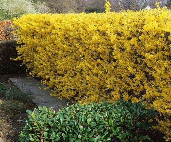 Разнообразие растений для красивой живой изгороди в саду