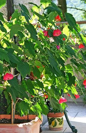 Садовые формы абутилона