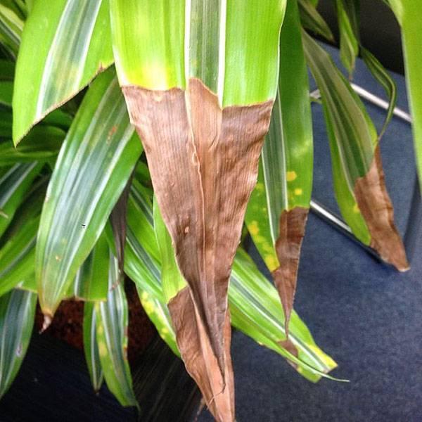 Почему желтеют листья у драцены: причины, лечение, особенности ухода