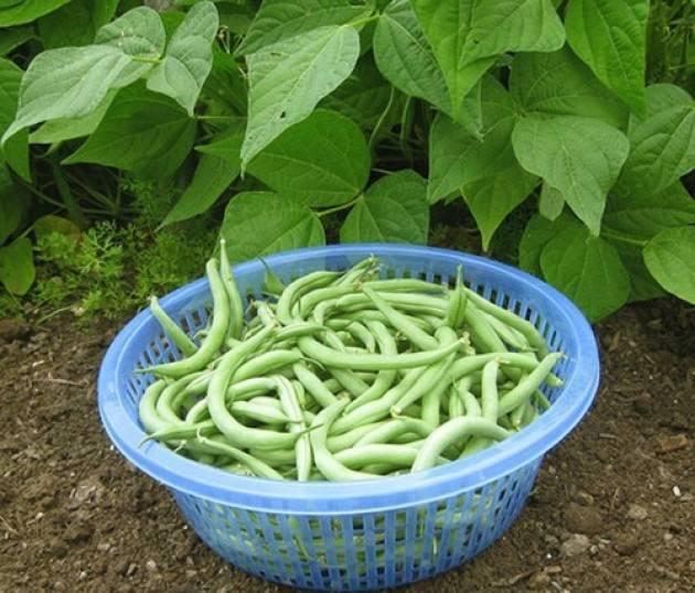 Посадка и выращивание спаржевой фасоли: особенности выращивания