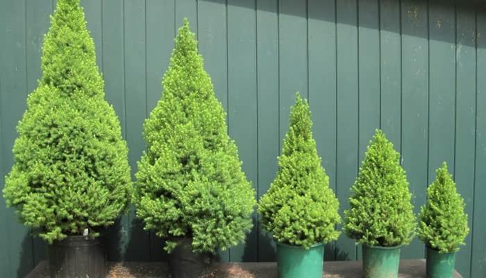 Хвойные деревья: правила ухода и подкормки