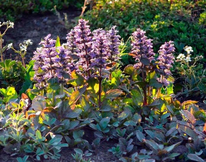 Живучка ползучая – посадка и уход, фото цветов в ландшафтном дизайне сада
