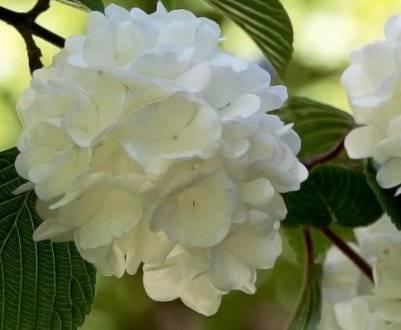 Калина обыкновенная: описание и размножение