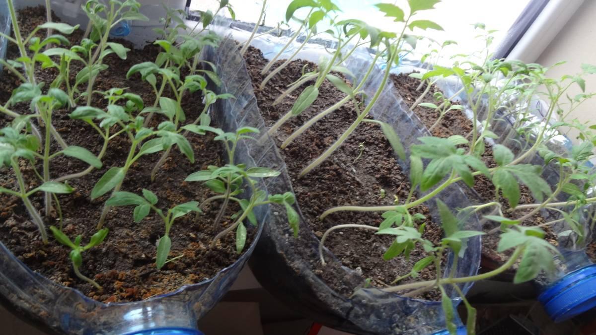 Лучший грунт для выращивания рассады