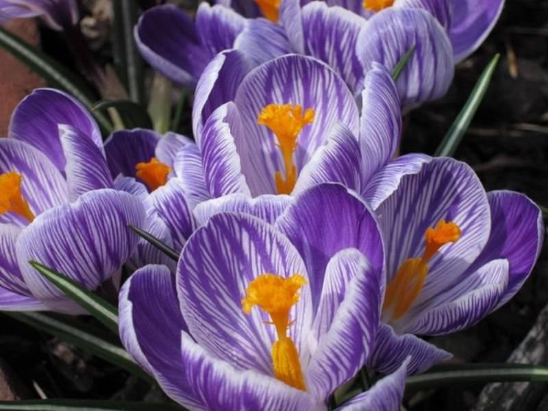 Нежные первоцветы крокусы: посадка и уход в открытом грунте, нюансы выращивания низкорослого растения с бокаловидными бутонами
